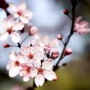Cover: Kirschblüten