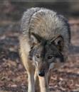 Cover: Das Leben eines Wolfes