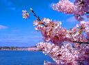 Cover: Sakura