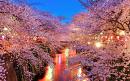 Cover: Sakura yume miru