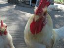 Cover: Ich wünscht ich wäre ein Huhn